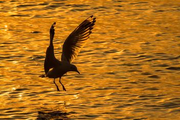 Seagull landing on water - Free image #136345