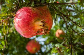 Ripe pomegranates on tree - image gratuit #182875