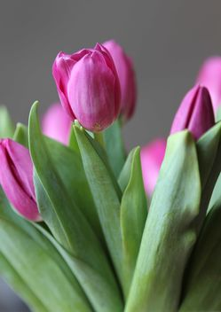 Pink tulips - image gratuit #183065