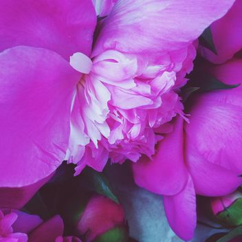 Pink peony still life - Kostenloses image #183175