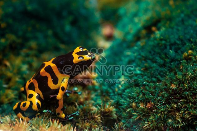 Yellow poisonous frog -  image #183785 gratis
