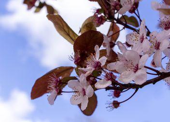 Cherry tree blossom - бесплатный image #184465