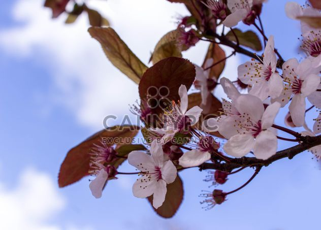 Cherry tree blossom - Free image #184465