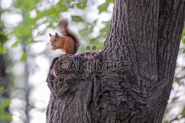 Eichhörnchen auf einem Baum - Kostenloses image #186055