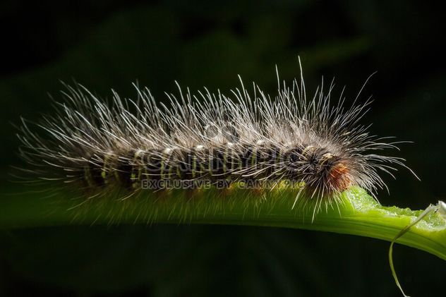 Hairy caterpillar on twig - Free image #186125