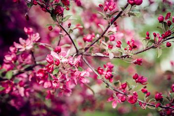 Pink flowers on branches of blooming tree - бесплатный image #186165