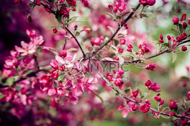 Pink flowers on branches of blooming tree - Free image #186165