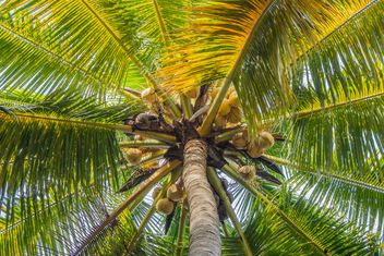 Closeup of coconut tree, view from below - Kostenloses image #186375