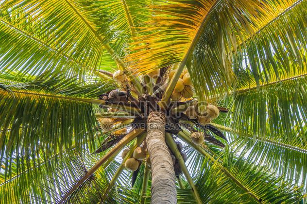 Closeup of coconut tree, view from below - Free image #186375