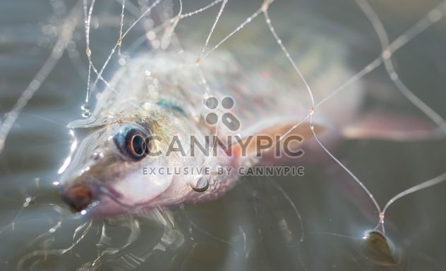A fish in net - Free image #186485