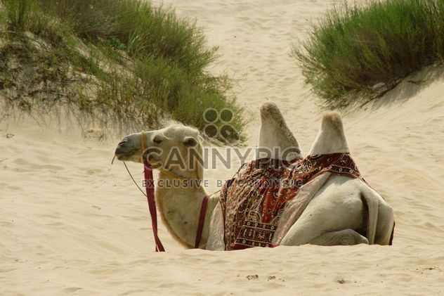 Camel in sand dunes - Free image #187775