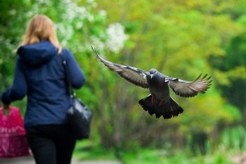 Pigeon in flight - image #187785 gratis
