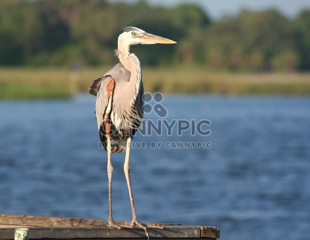 Great Blue Heron standing on boardwalk - Free image #187815