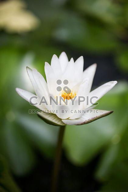 Nénuphar blanc - image gratuit(e) #197955