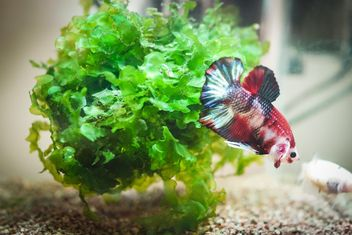 Siamese fighting fish in nano tank - бесплатный image #198005
