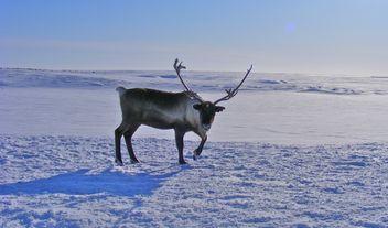 Reindeer - image gratuit #199005