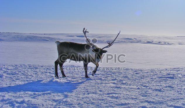 Северный олень - Free image #199005