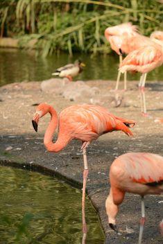 Flamingo - Free image #201455