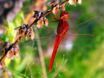 Red dragonfly on the herb - image #201505 gratis