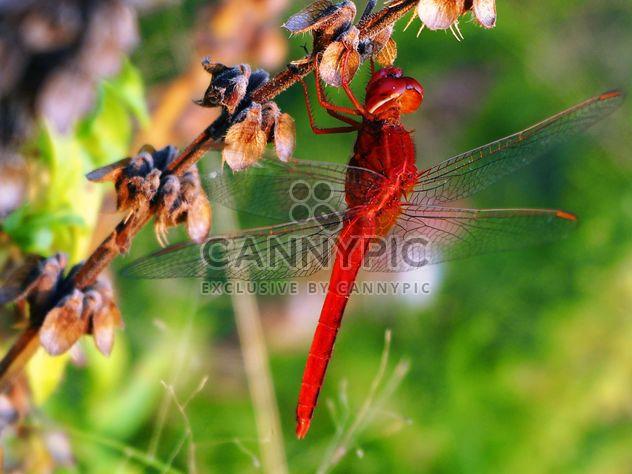Libélula roja sobre la hierba - image #201505 gratis