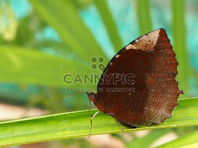Papillon appelé « The Common Palmfly »., Thaïlande. - Free image #201525