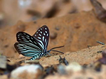 Dark Blue Tiger butterfly - image #201565 gratis