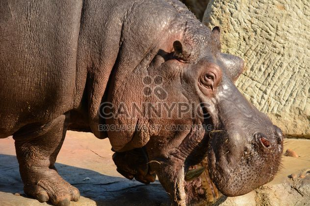 Hippo In The Zoo - Free image #201585