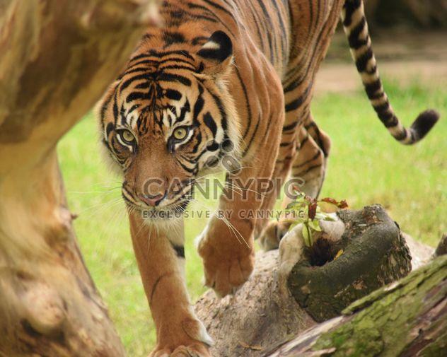 Тигра в зоопарке - Free image #201615