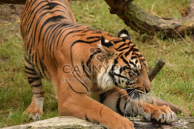 Tiger in the Zoo - Free image #201625