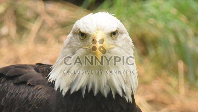 Portrait de l'aigle à tête blanche - image gratuit #201655