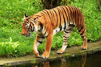 Tiger in the Zoo - Free image #201665