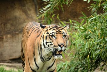 Tiger in the Zoo - Free image #201675