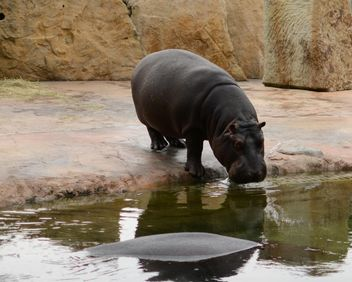 Hippo In The Zoo - image gratuit(e) #201685