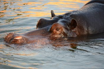 Hippo In The Zoo - Kostenloses image #201715