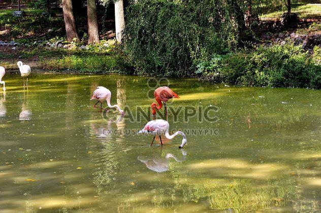 Flamingo - Free image #229365
