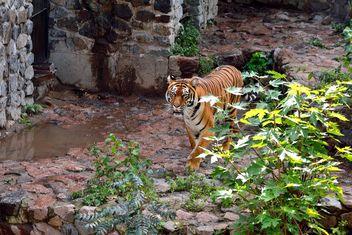 Tiger - Free image #229375
