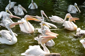 Pink Pelicans - Free image #229475