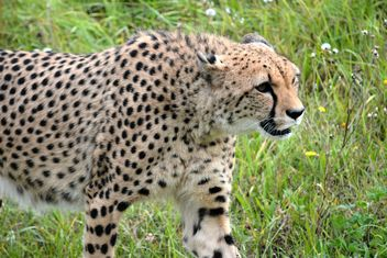 Cheetah on green grass - image #229505 gratis