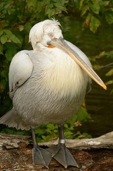 Pelican - Kostenloses image #229535