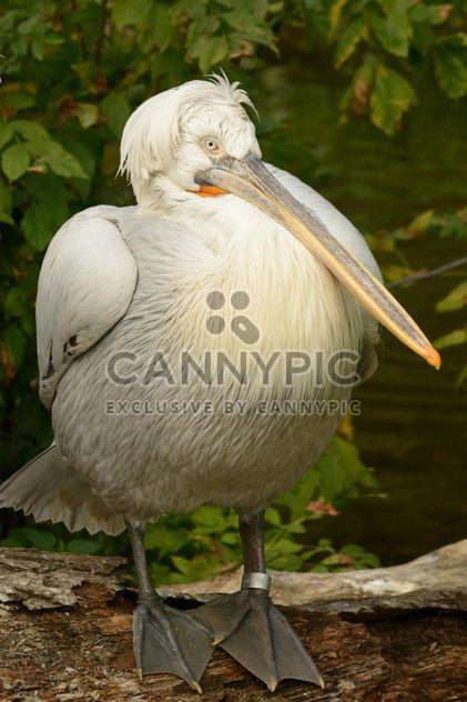 Пеликан - бесплатный image #229535