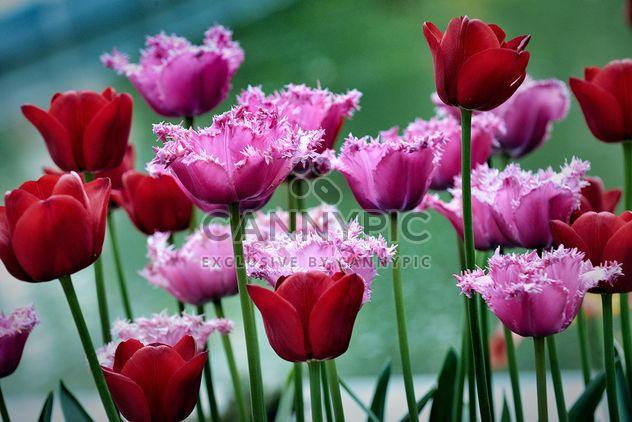 Красные и розовые тюльпаны - бесплатный image #271935