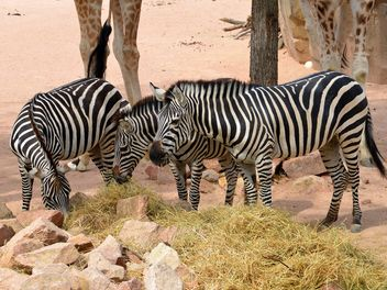Zebras in the zoo - image #271995 gratis