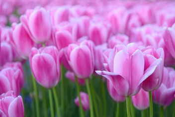 Pink spring tulips - image gratuit #272345