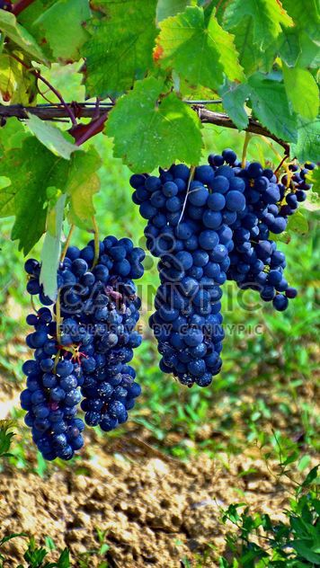 Wine grapes at countryside - Free image #272915