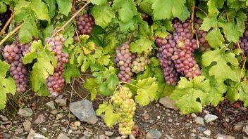 Organic Grapes - бесплатный image #272925