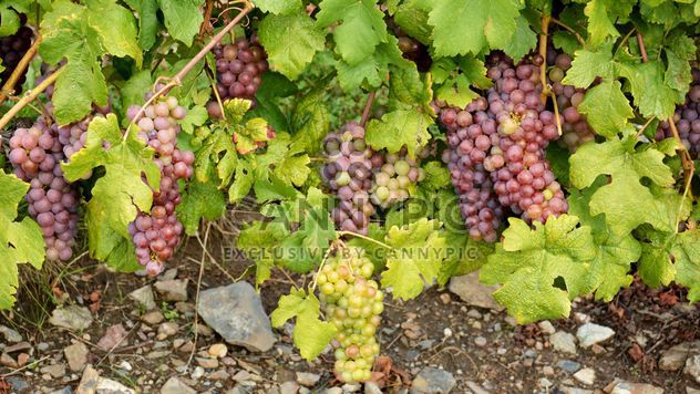 Organic Grapes - Free image #272925