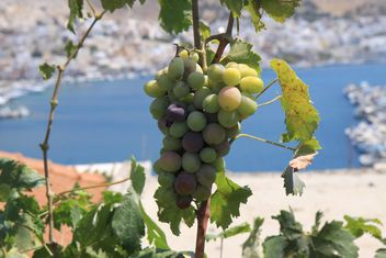 Organic Greek Grapes - image gratuit #272935