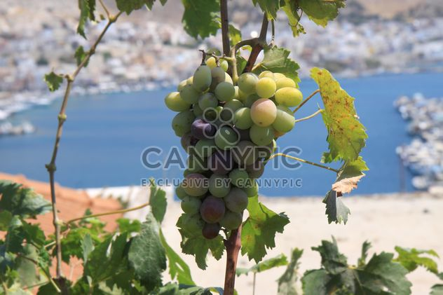Organic Greek Grapes - Free image #272935