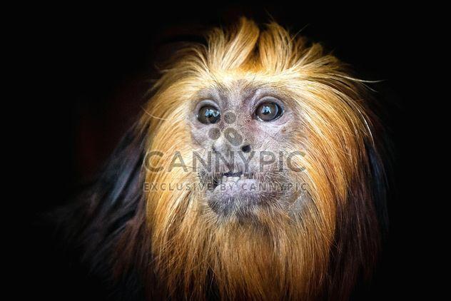 Обезьяна портрет - бесплатный image #273015