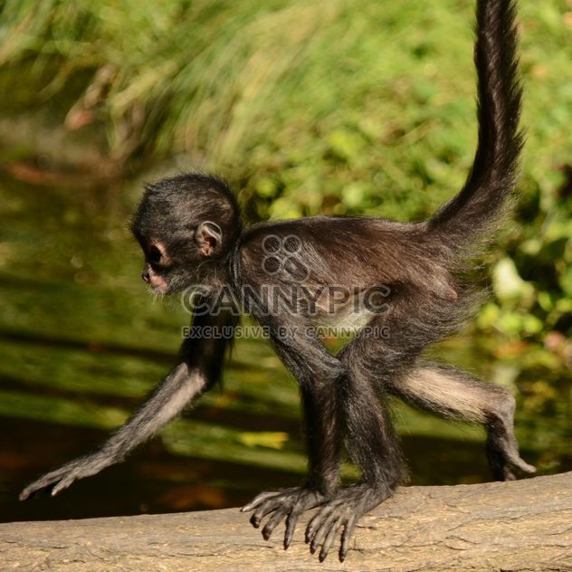 Little Monkey runs - Free image #273045